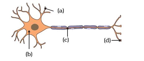 parts of neuron