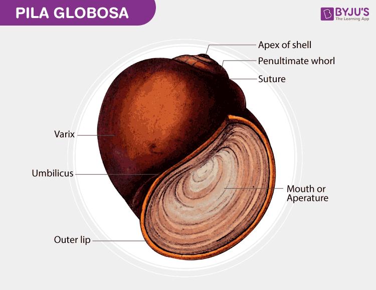 Pila Globosa