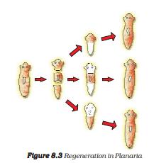 Regeneration of Planaria