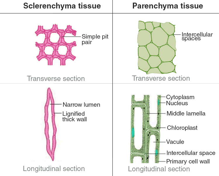 sclerenchyma and parenchyma tissue
