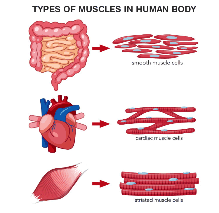 types of muscles in human body