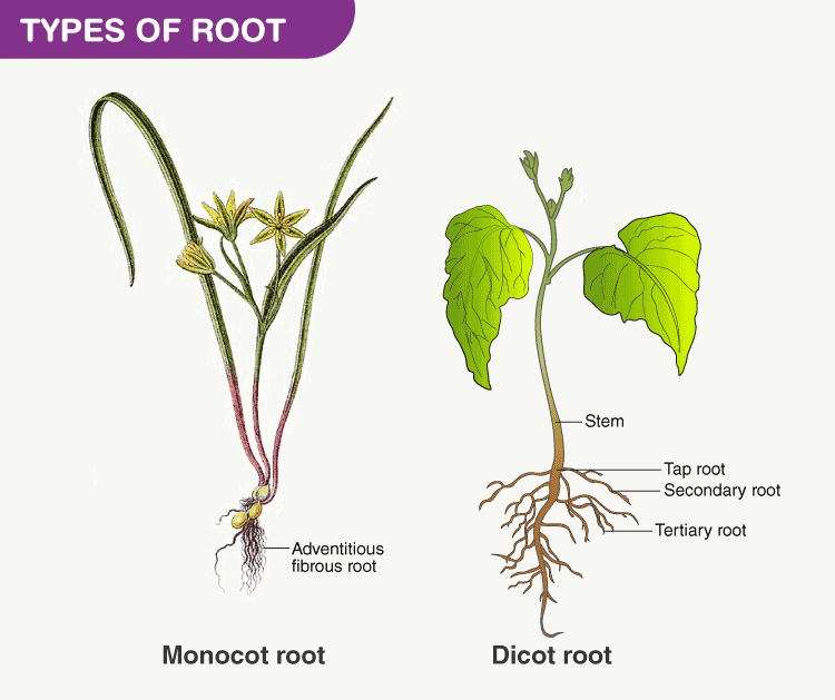 Types of root