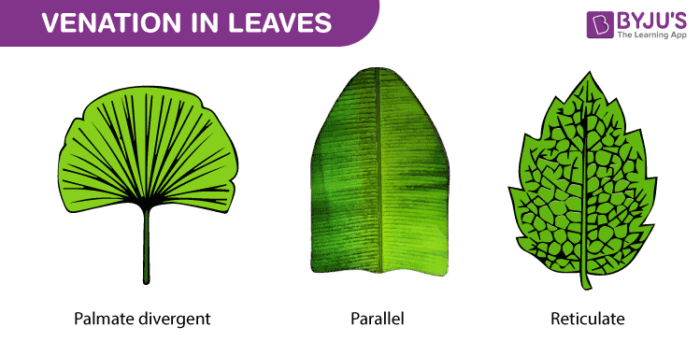Venation In Leaves