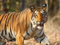 Conservation in India; Tiger