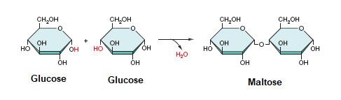 Formation of Maltose a Disaccharide Dehydration Synthesis