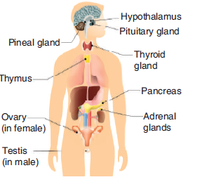 Identify Endocrine Glands