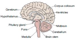 L.S. of Human Brain