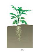 tap root