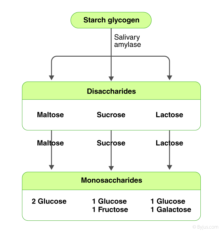 Digestion and Absorption of Carbohydrates-Flowchart