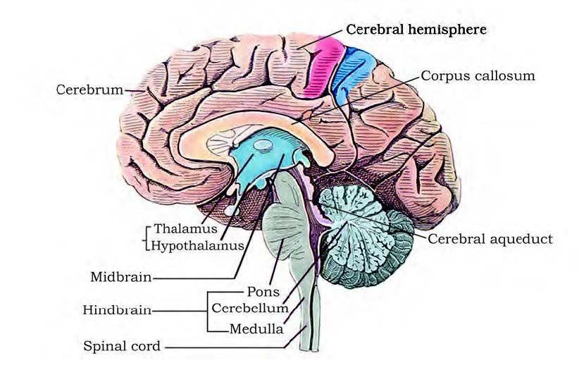 NCERT Solutions for Class 11 Biology Chapter 21 - Neural ...