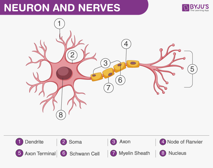 What Is A Nerve? - Structure, Function, Types of Nerves ...