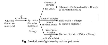 breakdown of glucose through various pathways