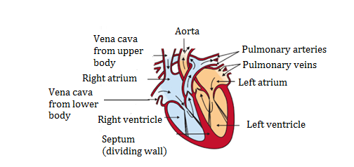 Heart - image