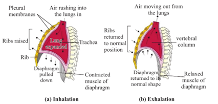 Respiration process