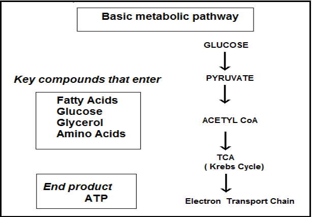 A typical biochemical pathway