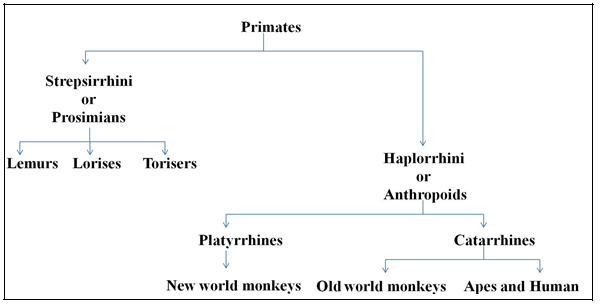 Classification of Primates