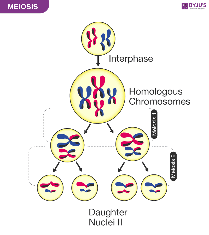 A Labelled Diagram Of Meiosis With Detailed Explanation