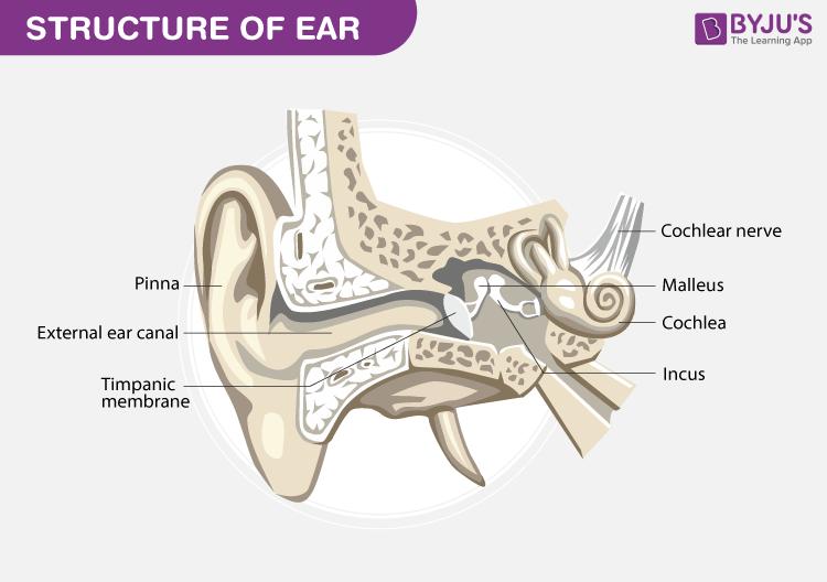 Human Ear Diagram - Important Diagrams - Class 7