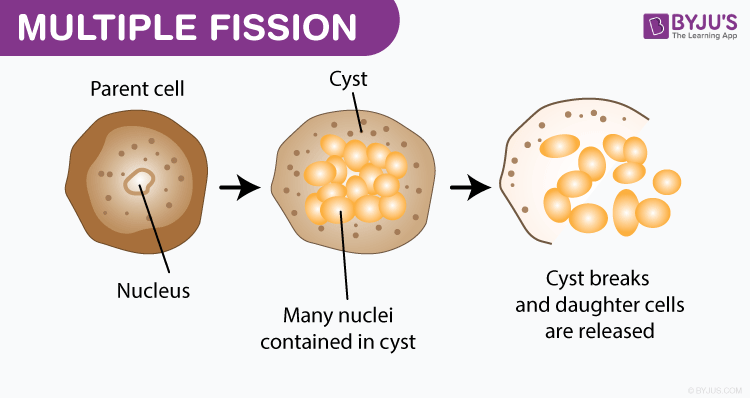 Multiple Fission