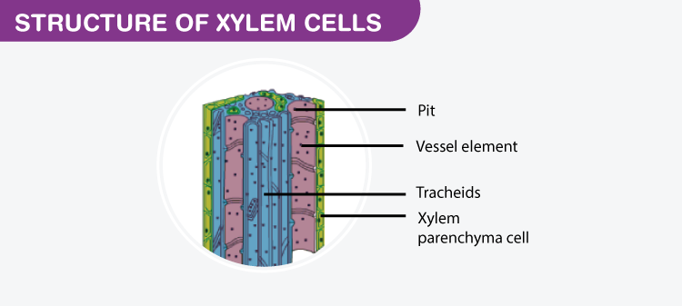 Structure of Xylem