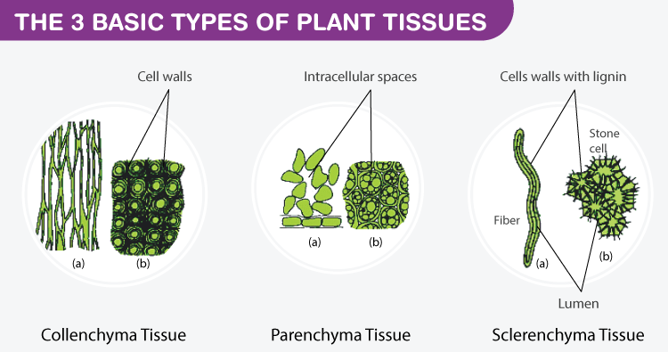 Basic types of plant tissues