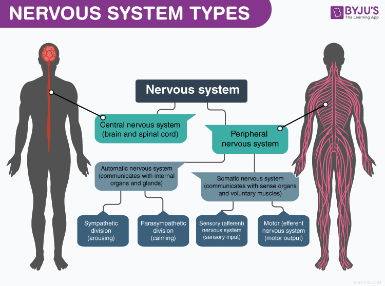 Types of Nervous System