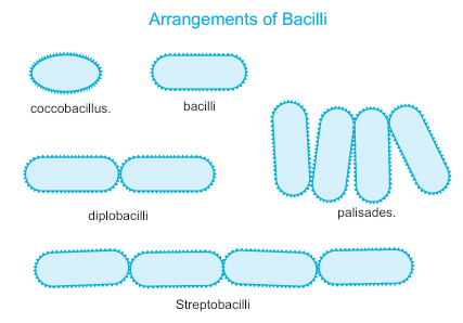 Arrangement of bacilli