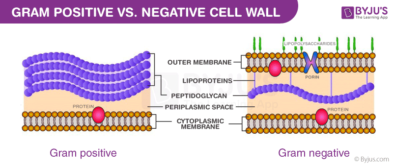 Difference between gram positive and negative cell wall