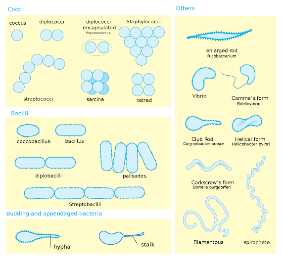 Different shapes and morphology of bacteria cell