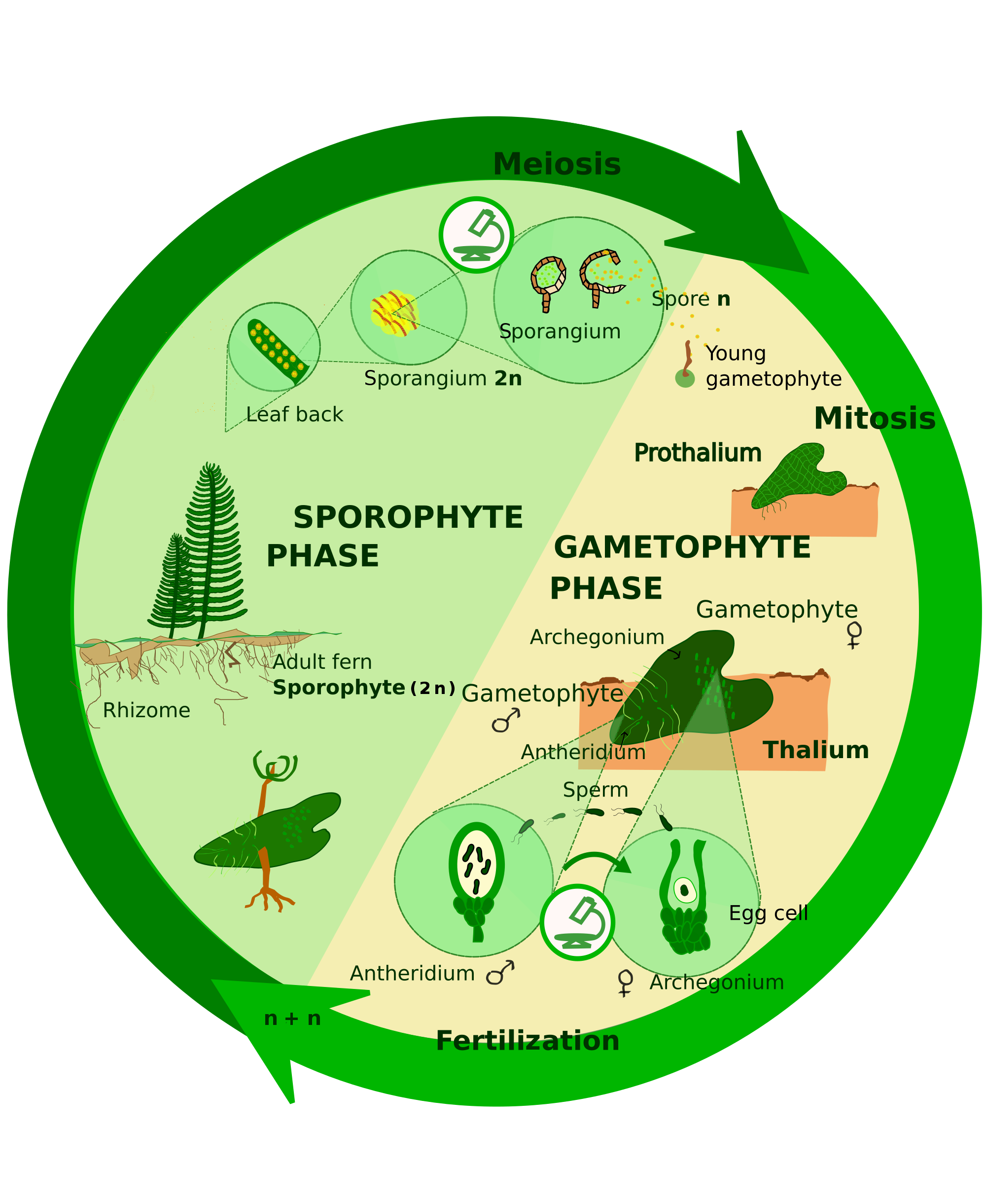life cycle of bryophytes