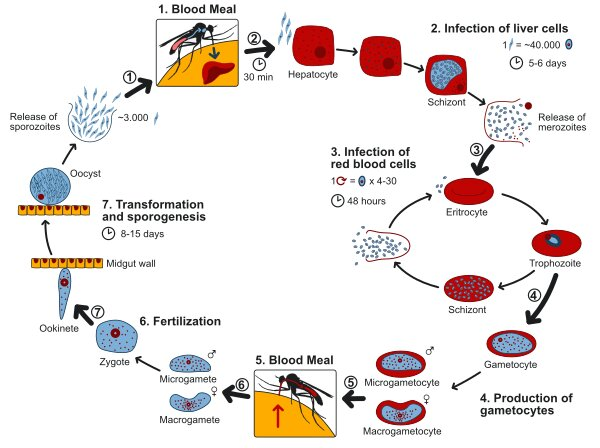 Life cycle of the malarial parasite; Plasmodium