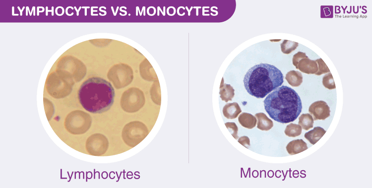 Monocyte and lymphocytes differences