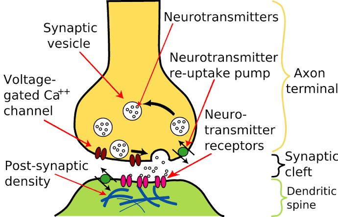 Neurotransmission at the chemical synapse