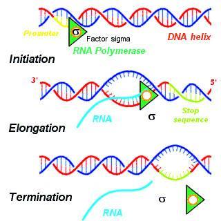 Process of transcription in bacteria