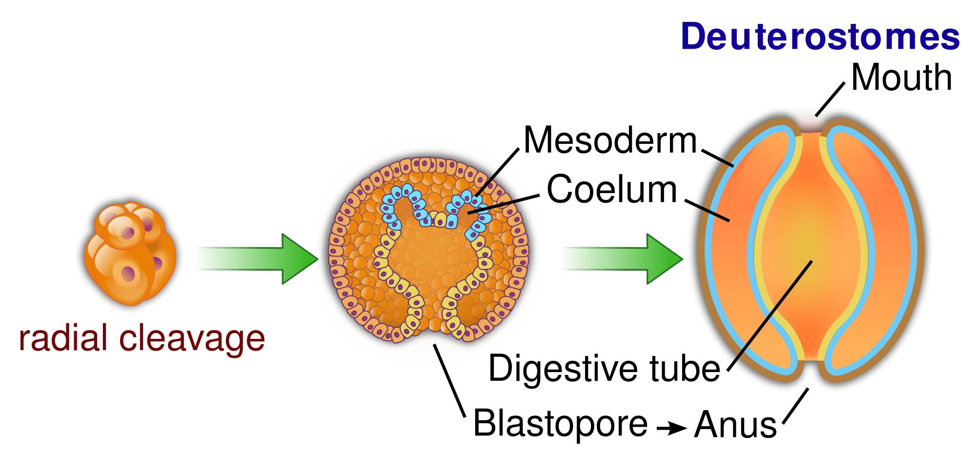 Radial cleavage in deuterostomes