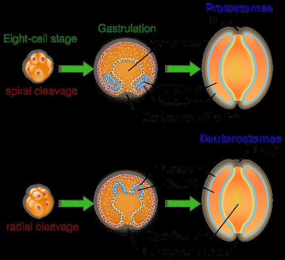 Schizocoelom- Protostomes Eneterocoelom- Deuterostomes