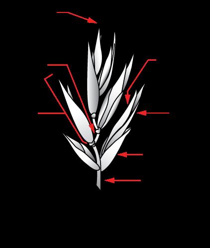 Spikelet