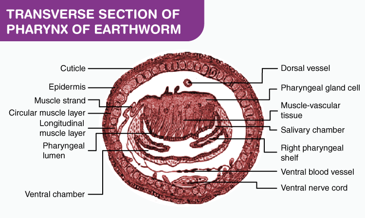 T.S. of Pharynx of Earthworm