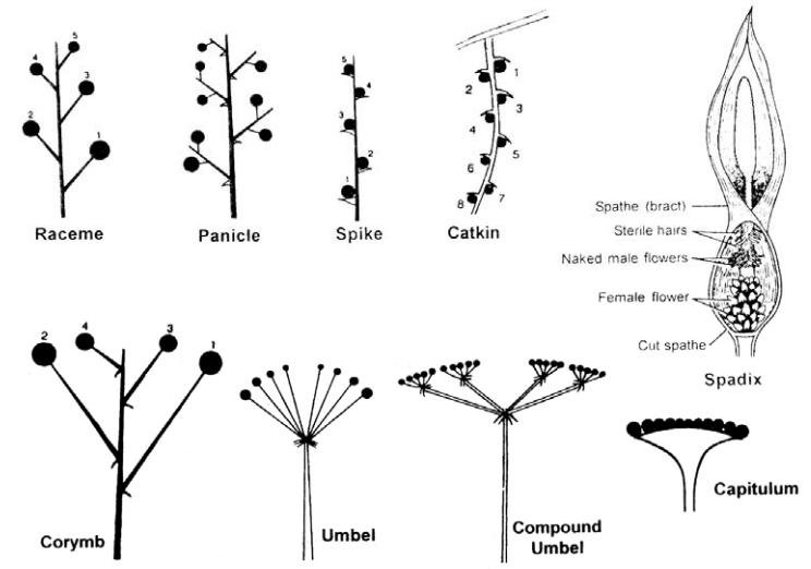 Types of racemose inflorescence