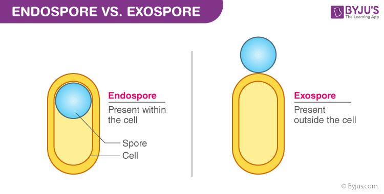 differences between Endospore and Exospore