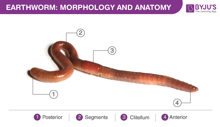 Structural Organization of Earthworm