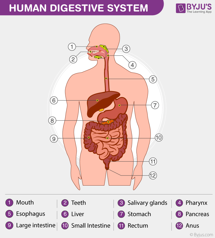 Human Digestive System - Important diagram for class 9 science