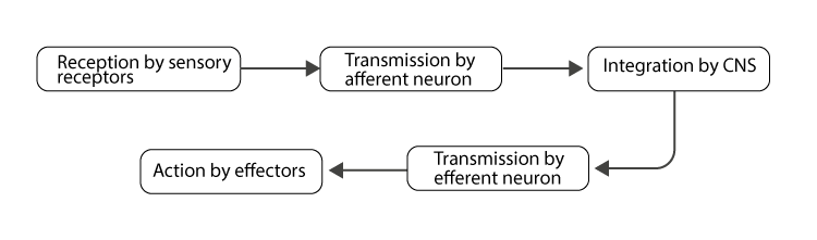 Process of neural communication