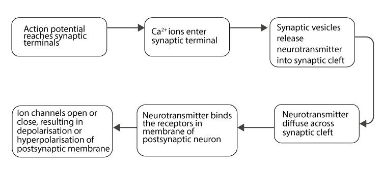 Process of transmission of nerve impulse at the synapses