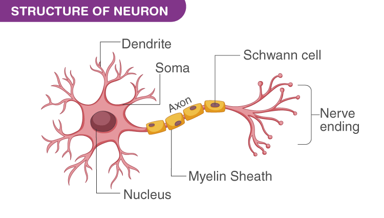 Diagram of Nerve Cell