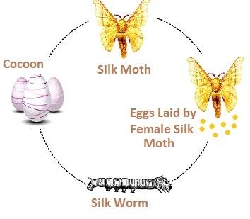 Development of Silk Moth