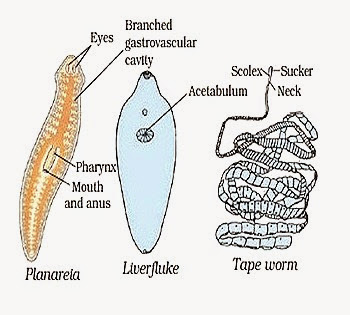 content_platyhelminthes_examples