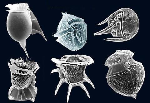 Dinoflagellates images