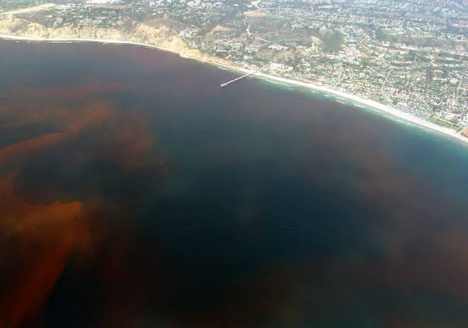 Dinoflagellates red tide