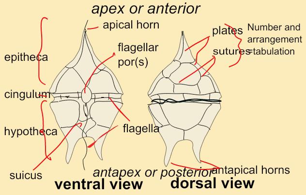 dinoflagellates structure